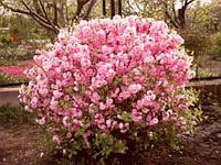 Саджанці мигдалю декоративного рожевого