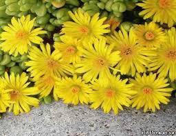 Делосперма Йеллоу Айс Плант (Yellow Ice Plant)
