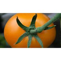 Семена томата KS 12 F1 1000 сем. Китано