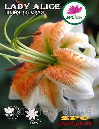 Лилия видовая Lady Alice