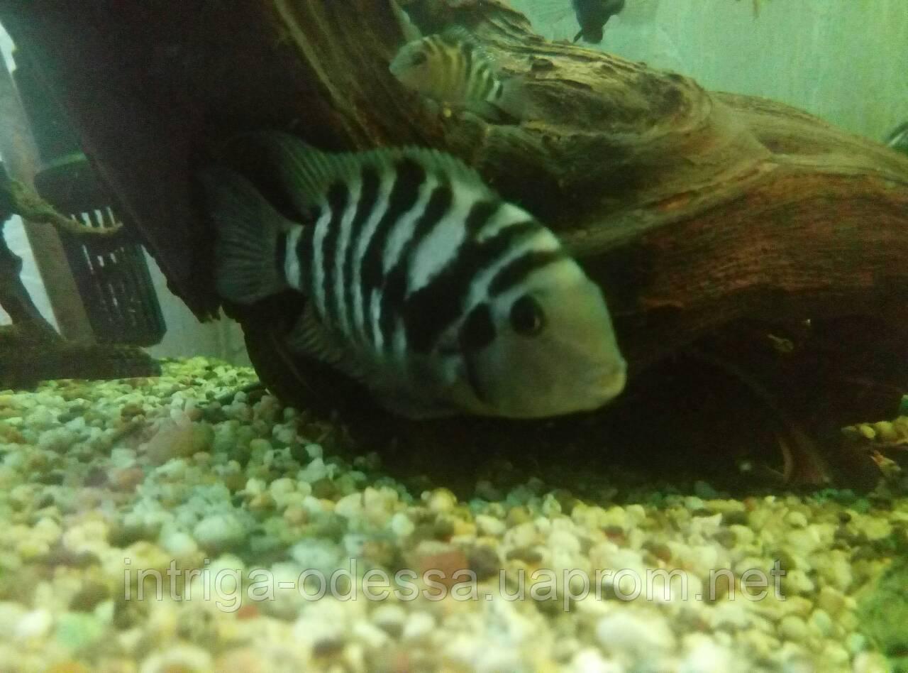 Аквариумные рыбки цихлазомы чернополосые самовывоз Одесса