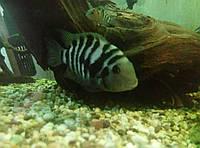 Аквариумные рыбки цихлазомы чернополосые