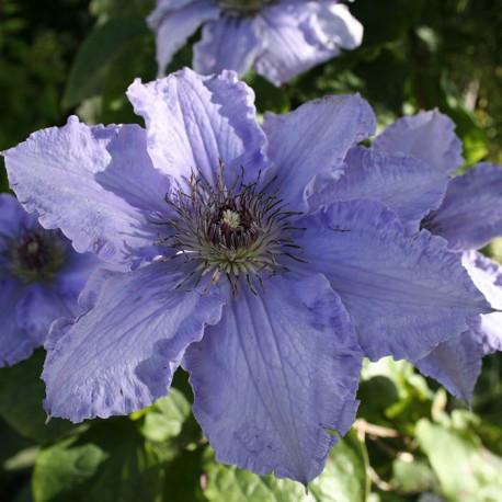 Kлематис Blue Angel