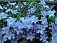 Kлематис Blue Angel, фото 2