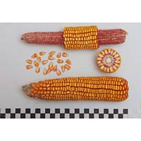 Насіння кукурудзи Полтава ФАО 270