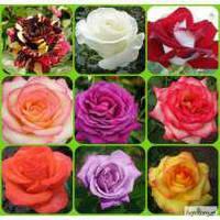 Саженцы роз высшего качества с закрытой корневой