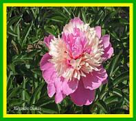 Пион травянистый Александр Дюма (Alexandre Dumas )