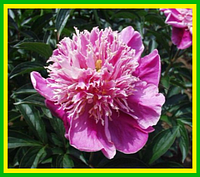 Пион травянистый Amabilis (Амабилис) корень (саженец 2-3 почки)