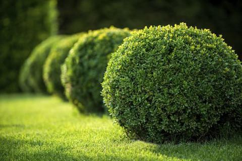 Саджанці вічнозеленого самшиту (буксус) 2-х, 4-х річні