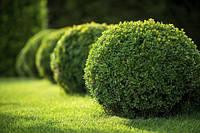 Саджанці вічнозеленого самшиту (буксус) 2-х, 4-х річні, фото 1