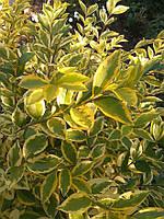 Саджанці бірючини ряболистної (жовтолисна), фото 1