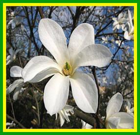Магнолия Кобус белая (саженец горшок р-9)