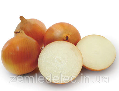 Семена лука Пандеро F1 100000 семян Nunhems