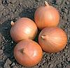 Семена лука Саброссо F1 1 млн. семян Nunhems