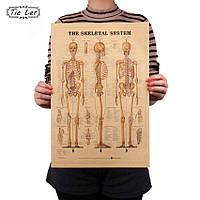 Постер Строение Человека, Скелет, 42см *29см