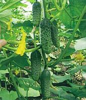 Семена огурца Маша (Masha) (Seminis) F-1  Голландия уп. 250 семян