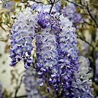 Глициния китайская Blue Sapphire (Блю Сапфир)