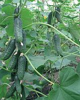 Семена огурца Барвина F1 500 семян Nunhems