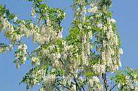 Саджанці білої акації, фото 1