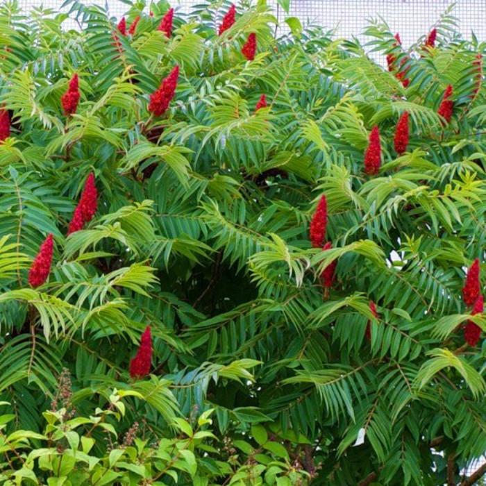 Саджанці сумаху (оцетове дерево)