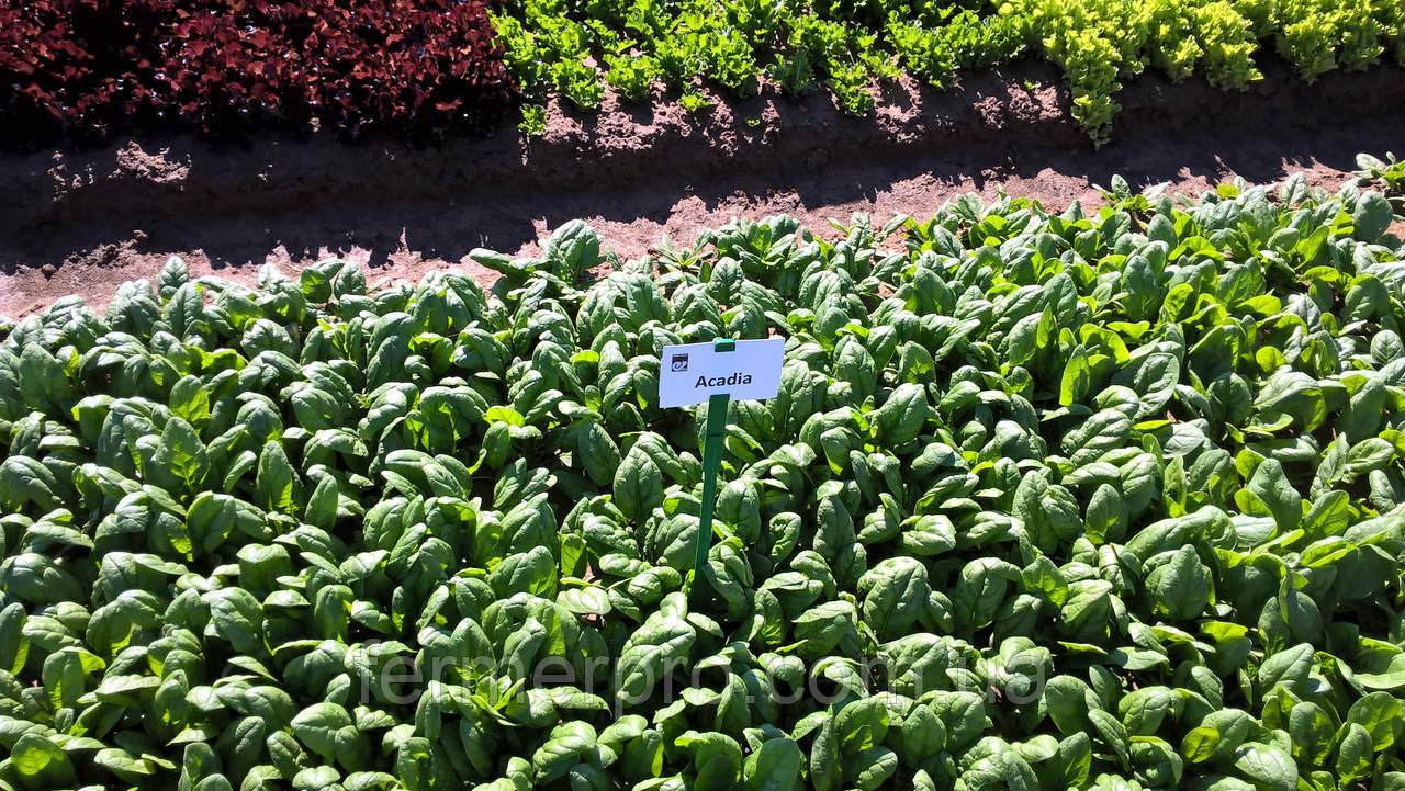 Семена шпината Акадия F1 25.000 семян Enza Zaden
