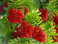 Саджанці червоної горобини, фото 1