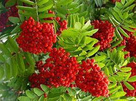 Саджанці червоної горобини