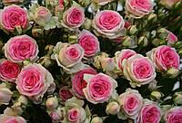 Роза бордюрная Мими Эден ( саженцы )