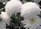 Хризантема срезочная Рефлекс, фото 3