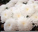 Хризантема срезочная Рефлекс, фото 2