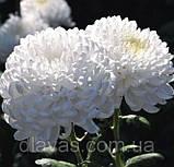 Хризантема срезочная Рефлекс, фото 4
