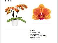 Подростки орхидеи. Cорт Grazia, мультифлора