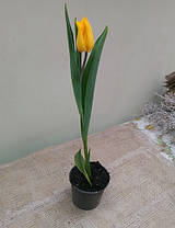 Тюльпаны в горшках, фото 3