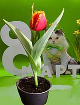 Тюльпаны в горшках, фото 2