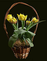 Тюльпаны,нарциссы,крокусы в корзинках, фото 3