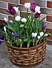 Тюльпаны,нарциссы,крокусы в корзинках, фото 4