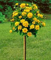 Рози на штамбі