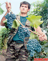 Чем подкармливать лозу винограда