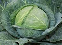 Семена белокочанной капусты Колия F1, Seminis 2 500 семян. Семена овощей для фермерских хозяйств