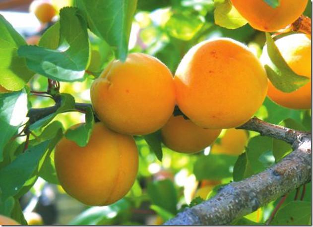 Саджанець абрикоса Присадибна