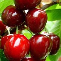 Саженец вишни Чудо - вишня