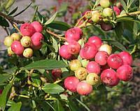 Саженцы голубики Розовый Лимонад (Pink Lemonade) 1.5 лет в горшке 1.1 л, фото 1