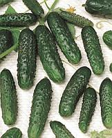 Семена огурца Маша F1, Seminis 250 семян