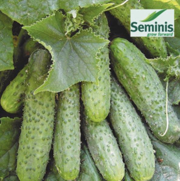 Семена огурца СВ 3506 ЦВ F1, Seminis 250 семян