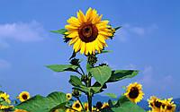 Семена подсолнечника Рембо (НВТ Насіння)