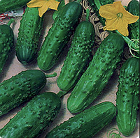 Левина F1 - семена огурца, Seminis 1 000 семян, фото 1