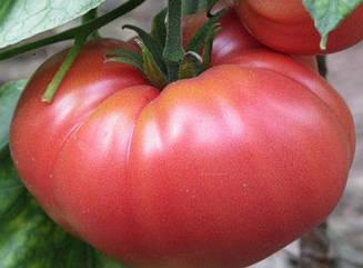 Томат Корнеевский (розовый) высокорослый среднеспелый сорт народной селекции с малиново-розовыми плодами