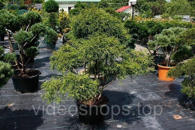 Кипарисовик горохоплодный Филифера Нана Bonsai (Бонсай) C40 / H80-100