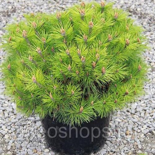 Сосна черная Бамбино C12,5 / H30-40