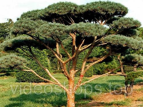 Сосна обыкновенная Ватерери Bonsai (Бонсай) D100 / H125-150